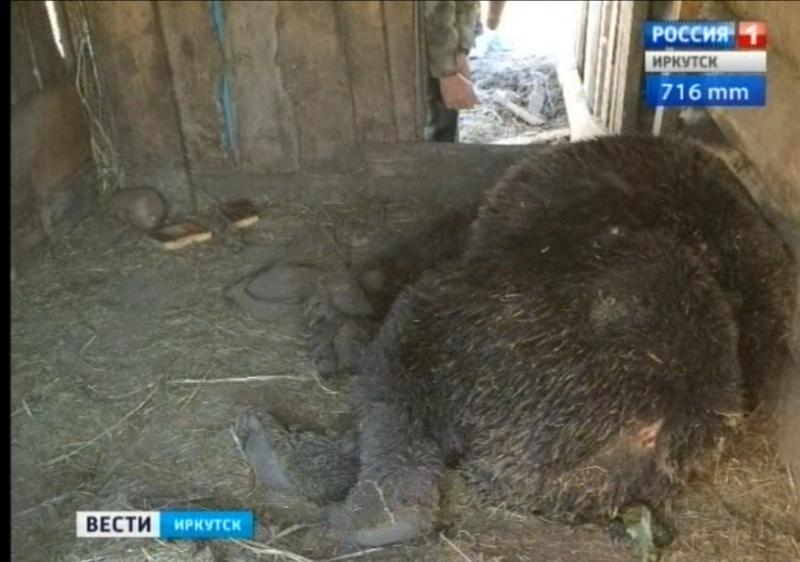 Медведь задрал свинью