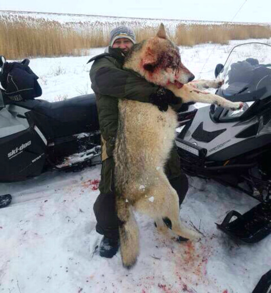 Громадный волк